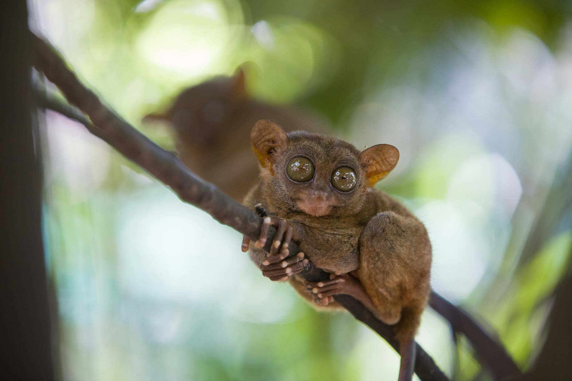 Tarsier monkey eyes